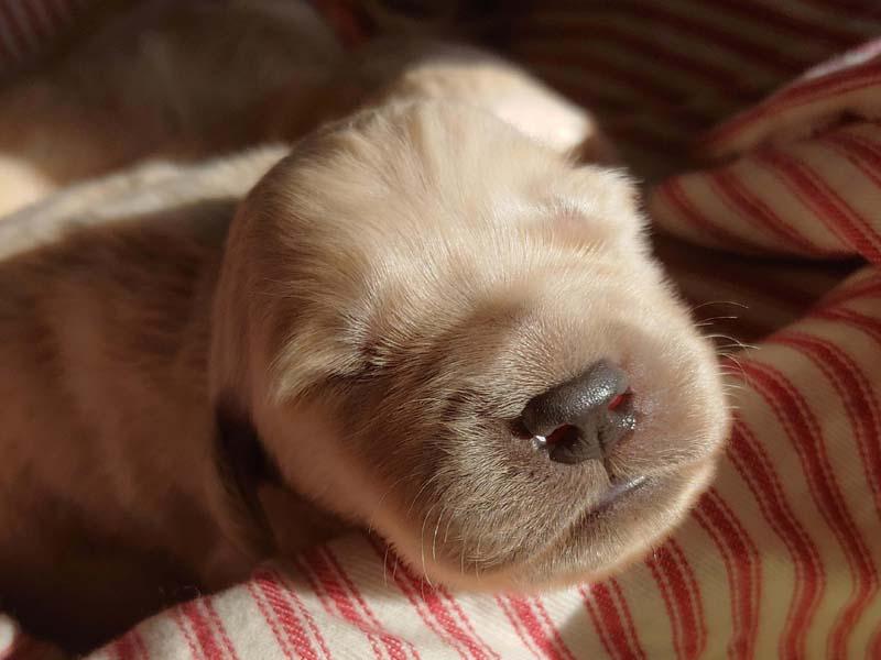 Golden Retriever Puppy Fort Collins Colorado