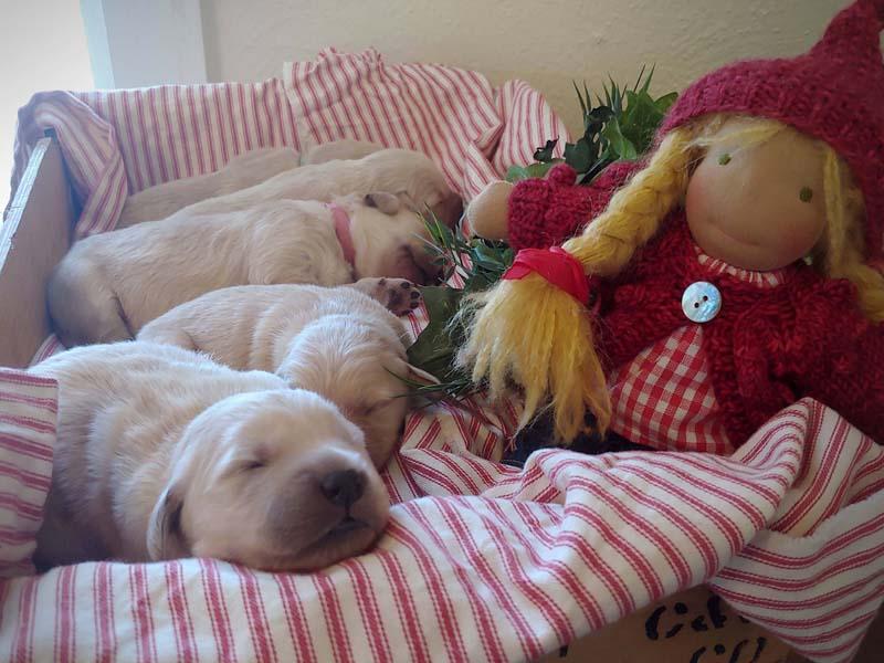 Christmas Puppies Northern Colorado Golden Retrievers